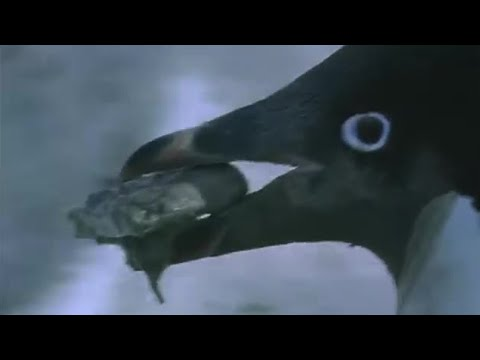 Penguin prostitution   Deep into the Wild   BBC