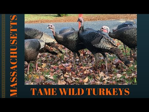Tame Wild Turkeys ~ Bellingham Massachusetts ~ November 2017