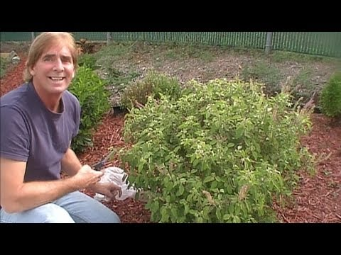 How To Gather & Seperate Tulsi Seeds, The Holy Basil Garden