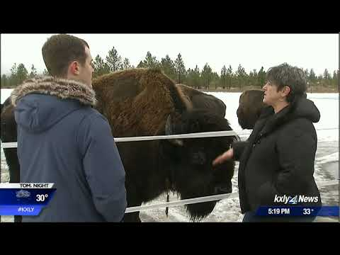2017 record-breaking year for bison meat sales