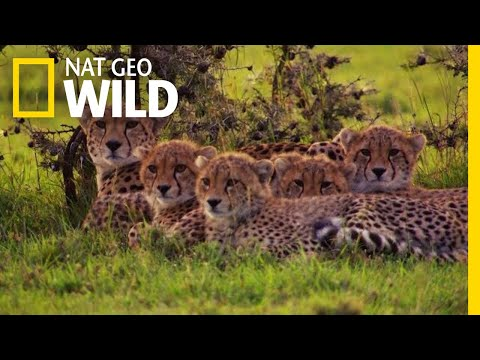 A Cheetah Mother Works Hard For Her Family | Nat Geo Wild