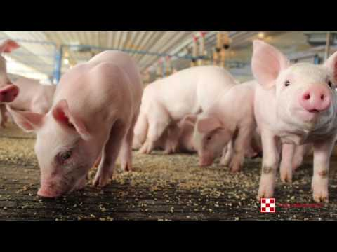 Improve swine feed efficiency with pelleted feed