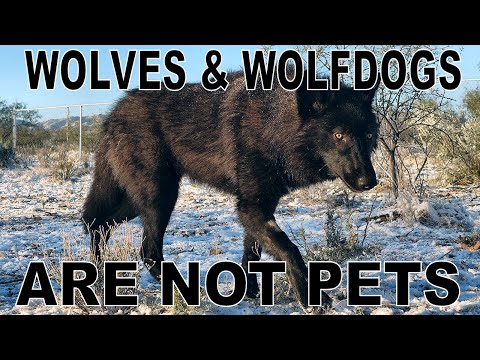 You CANNOT Own A Wolf or Wolfdog - This is why...