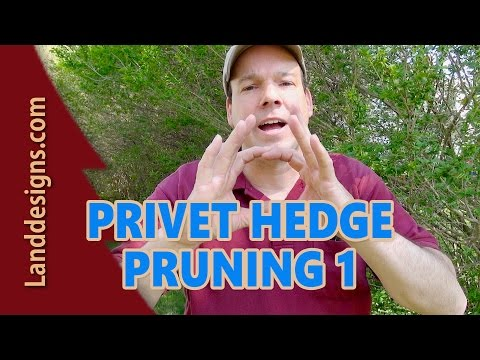 Prune Overgrown Privet Hedge