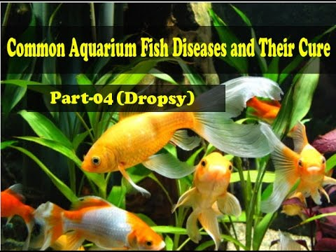 Common Aquarium Fish Diseases Part-4 (Dropsy)