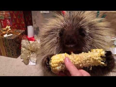 Teddy Bear the Porcupine Finds a Christmas Treat