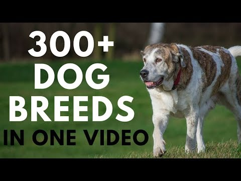 All Dog Breeds in One Video (from A to Z)