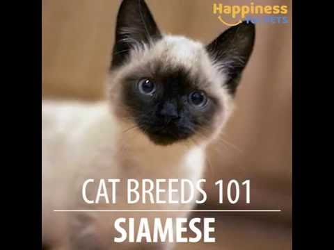 Siamese cat 101
