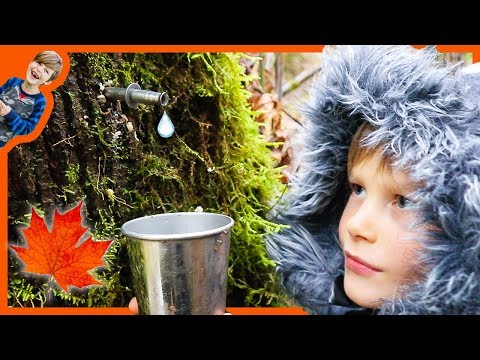 Axel and Daddy Harvest Maple Sap To Make Make Maple Syrup