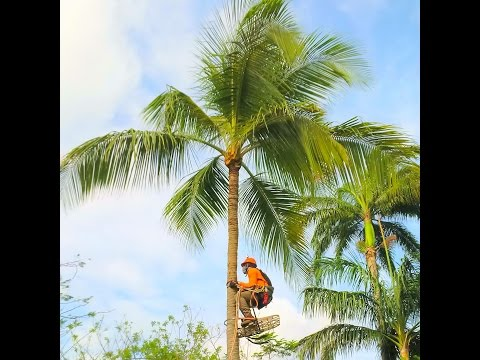 HOW TO TRIM A COCONUT/PALM TREE SPIKELESS