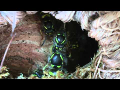 Queen wasp gets a clean up