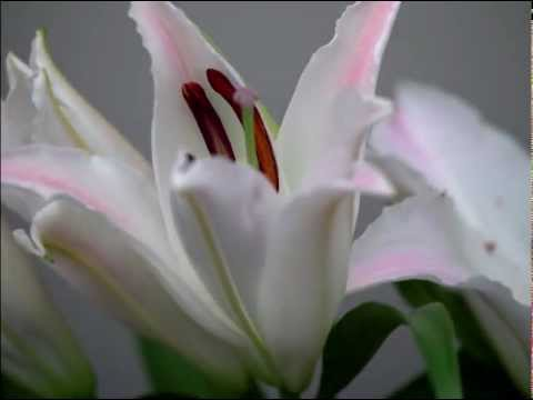 Oriental Lily bloom time lapse
