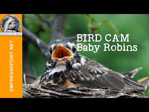 Baby Robins bobbing for food every time they hear a twig snap