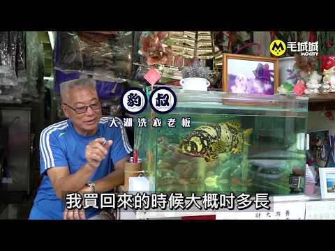 【寵物店長 番外篇】元朗洗衣店財仔 會認人的魚