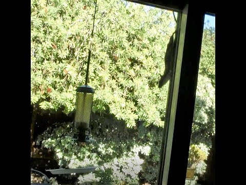 A smart roof rat tries to get to my DIY Bird feeder seed catcher -2/2