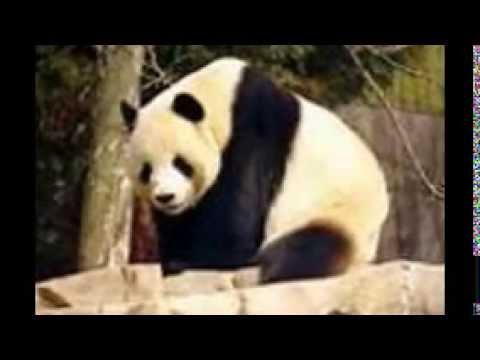 Save panda's from extinction