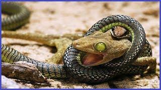 Snake eating lizard 😮😮