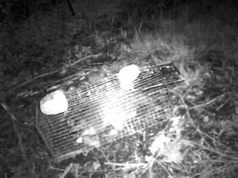Racoon Outsmarts Trap