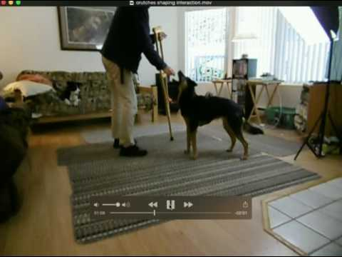 Crutches Part 1 Shaping Interaction for service dogs in training -fear period
