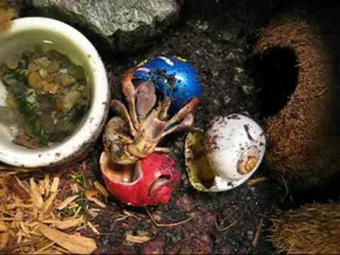 hermit crab switching shells.