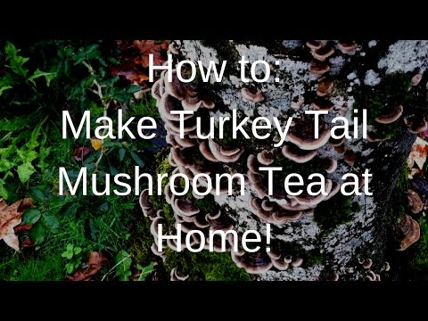 How to: Make Turkey Tail Tea at Home!!!