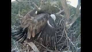 Big Bear Eagle Cam ~ Stormy Circles Nest Twice Following Mom ~ No Fish  5.16.18