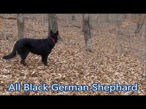 Meet Rio, All Black German Shephard