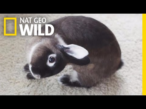 Bunnies With Head Tilts Can Live Happily Ever After | Nat Geo Wild