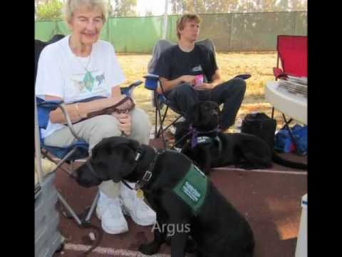 Guide Dogs for the Blind Puppies in Training October 15 2011.wmv