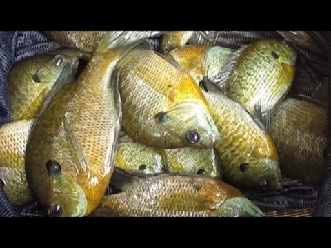 Catch tons of catfish bait with slim jims - store live bait in keepnet -portable live well