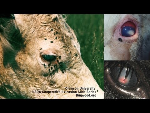 Pink Eye In Beef Cattle: Causes, Diagnosis, Treatment - D.L. Step, DVM