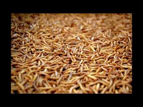 How to get rid of and kill maggots (Fast and Easy!)