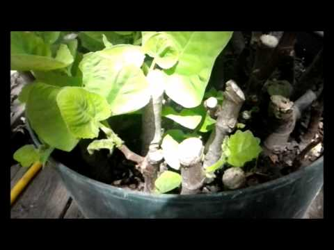 Propagating Cloning Fig Cuttings Is This EASY