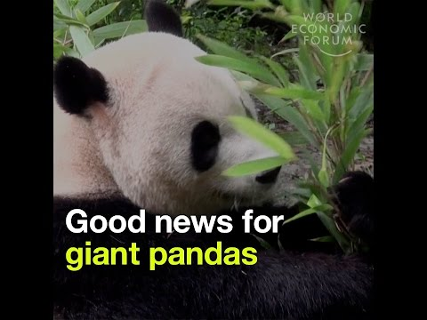 Good news for giant pandas - They are no longer considered endangered