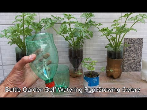 Bottle Garden Self Watering Pop  - Celery