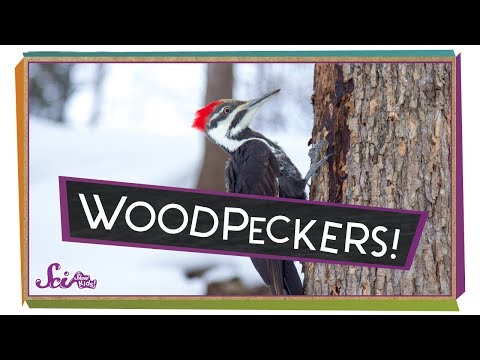 Why Don't Woodpeckers' Heads Hurt?