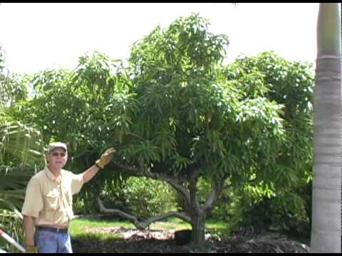 A021 Pruning your mango tree
