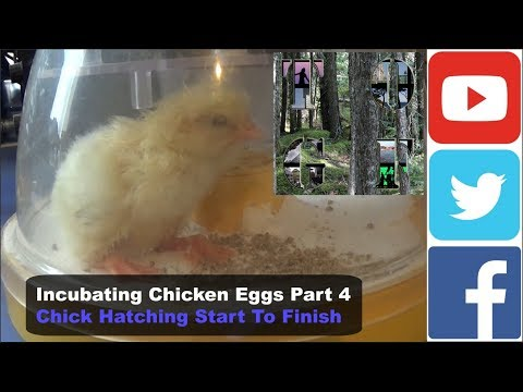 Incubating Chicken Eggs Part 6 Chick Hatching (Start To Finish) 13 hours @ 10,000% speed
