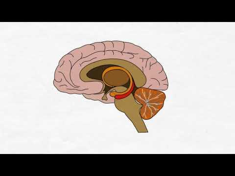 2-Minute Neuroscience: Oxytocin