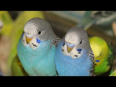 How to tell if your budgie is male or female