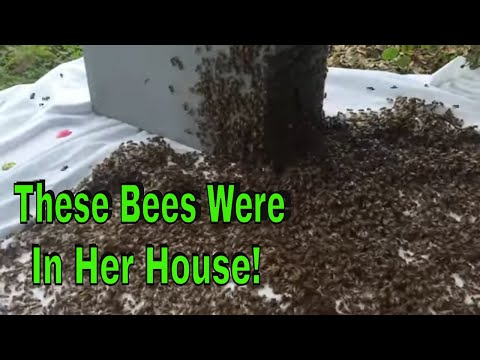 Forcing Honey Bees Out Of Her House JPthebeeman