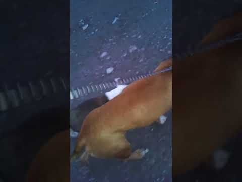 Angry pitbull puppy bite