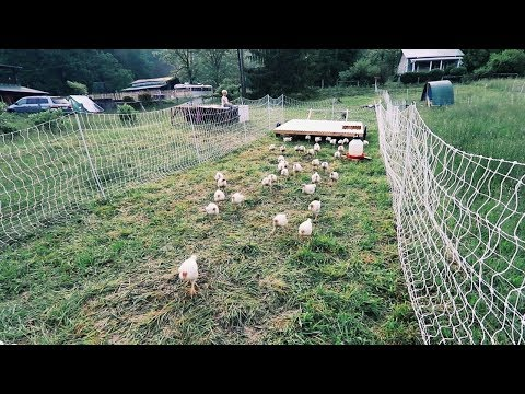 Getting 60 Chickens to Follow me, ANYWHERE