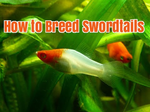 How to Care for and Breed Swordtail LiveBearers