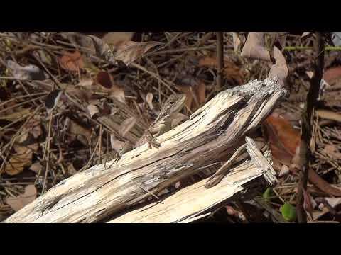 AwA Australian Pygmy Bearded Dragon