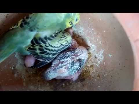 Mother budgie Feeding her babies