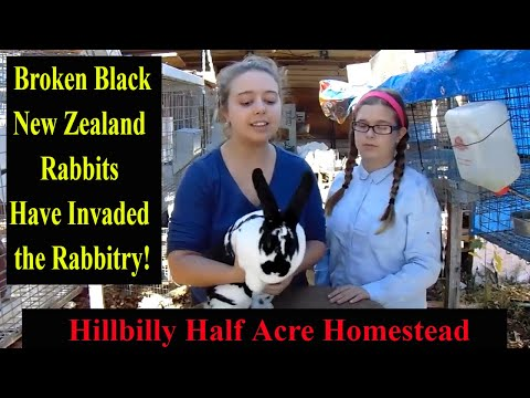 New Zealand Rabbits - Introducing a New Variety of New Zealand Rabbits to the Rabbitry