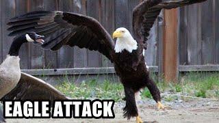 Best Eagle Attacks; World