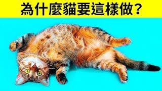 Download 為什麼貓會在看到你的時候把肚皮翻過來 Video