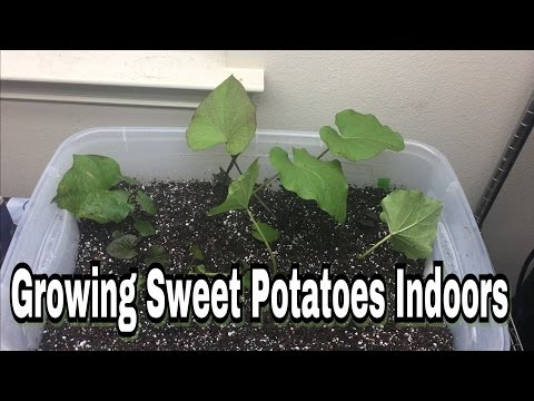 Growing Sweet Potatoes Indoors!